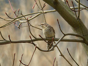 ・2007年3月21日 手賀沼  上空を気にしていたアリスイが、近くの木に飛び移った。