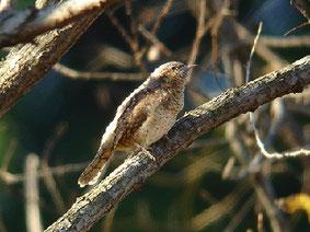 ・2006年11月25日 北本自然観察公園  周囲と上空を見渡した後、飛び去った。