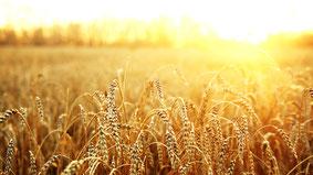 Getreide: Mähdrusch, Strohernte, GPS-Häckseln