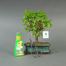 Bonsai kaufen versand onlineshop for Bonsai versand