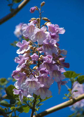 Paulownia Blüte