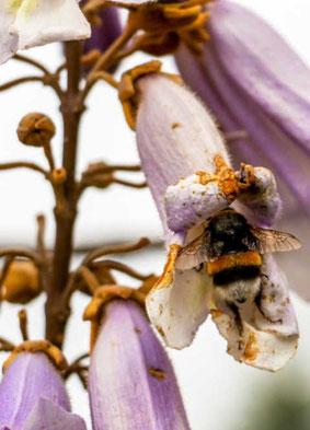 Bienenfreundliche Paulownia