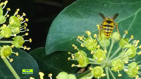 Nahaufnahme von Efeublüten mit einer Nektar trinkenden Wespe darauf von K.D. Michaelis