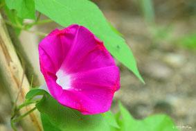 花のページの「あさがお」へ