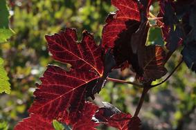 Vigne rouge - Vitis vinifera var. tinctoria