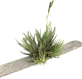 Tillandsia loliacea