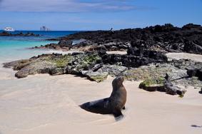 Galapagos Seelöwe selbstorganisiert auf eigene Faust