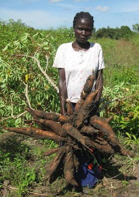 I tuberi di una pianta di cassava di varietà migliorata