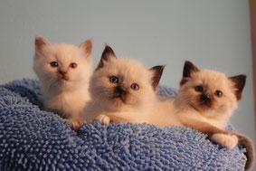 Hübsche Katzenwelpen