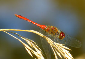 """Die """"Blutrote Heidelibelle""""  ♂ (Sympetrum sanguineum) an der Lotzdorfer Röder;  Indikator für einen sauberen Fluß;    Foto: Schönfuß"""