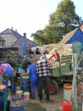 Auch heute noch ist das Einbringen der Kartoffeln einer der Höhepunkte des Erntejahres;  Kartoffel-Ausleseaktion 2015 auf dem Oese-Hof Seifersdorf - Alt und Jung muss zupacken... (Foto: Schönfuß)