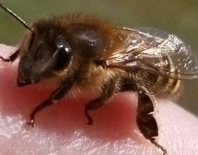 Nahaufnahme einer jungen Stockbiene