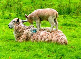 Mutterschaf mit ihrem übermütigen Lamm