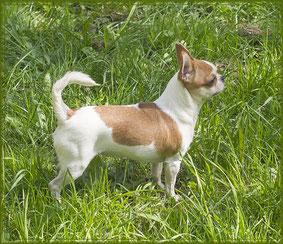 бело-рыжая девочка чихуахуа