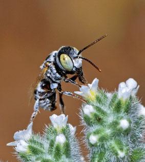 Wildbiene an der Tankstelle [Haetosmia vechti  (Gideon Pisanty, Wikimedia]