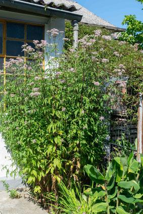 Wasserdost Naturschutztipps Insekten Dr. Ute Nieveler NABU Düren