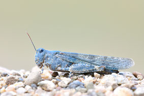 Blauflügelsandschrecke Blauflügelödlandschrecke Weinhähnchen Besondere Beobachtungen Kreis Düren NABU Düren