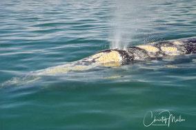Gray Whale Watching in Baja California