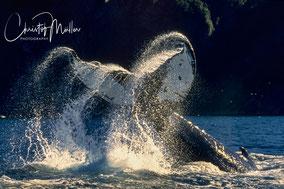 Tale-breaching humpback whale in Newfoundland