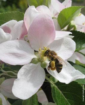 Pollensammlerin bestäubt eine Apfelblüte