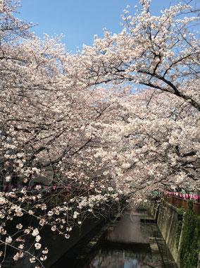 目黒川沿いの桜並木
