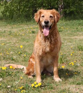 Golden Retriever in Hundeschule