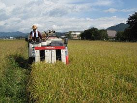 有機の田んぼの稲刈り風景