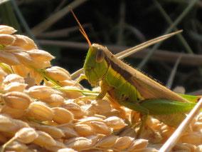 稲刈り時の稲穂とイナゴの写真