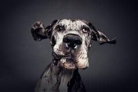 Deutsche Dogge |Schmacko Fetz