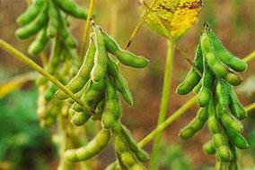 Cultivo de soya en Colombia