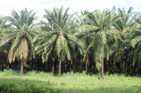 Cultivo de aceite de palma en Colombia