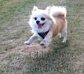 Chi-Love.de Wildfarbener Chihuahua springt über Wiese
