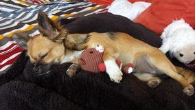 Chi-Love.de | Kauf- und Erziehung | Die Sache mit dem Sofa (Chihuahua)
