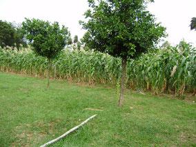 Mais und Orangebaeume