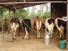 Cows in the Milk Barn