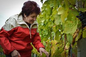 Seniorchefin Anni Werderits bei der Weinlese