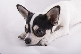 Chihuahua von der Bernard Ranch
