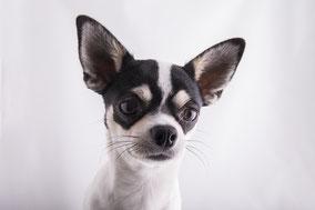 Chihuahua, der kleine Hund aus Mexico