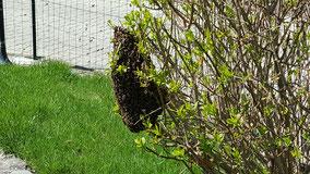 Essaim d'abeilles dans un arbuste