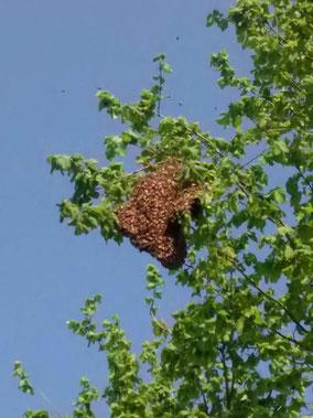 Essaim d'abeilles bien haut dans un arbre