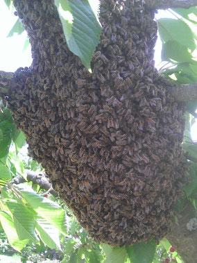 Gros plan d'un essaim d'abeilles dans un arbre
