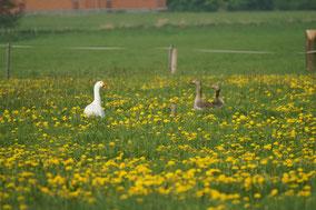 Eine weiße Hausgans und zwei Graugänse recken ihre Hälse aus einer mit gelben Blüten übersäten Wiese.