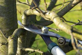 Baumschnitt und Baumpflege