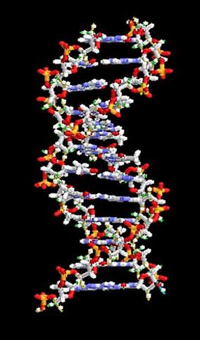 遺伝子の一般模型(色は着色。これも赤・黄・青・白の4色のみ。出典: フリー百科事典『ウィキペディア』)