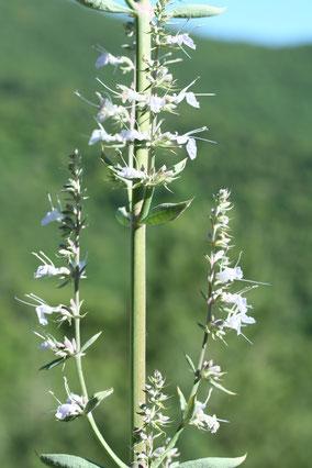 Sauge blanche ( salvia apiana )