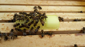 Bienen belagern den Zusetzkäfig