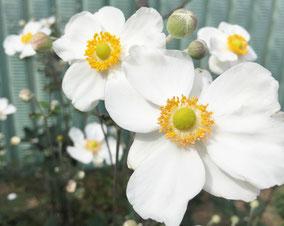 シュウメイギク、とっても可愛い和の花です。