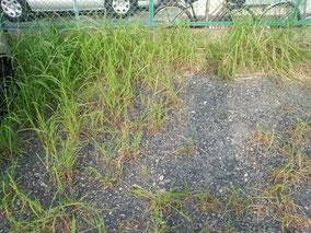 駐車場に生えた雑草