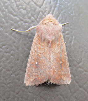The white-point Mythimna albipuncta is still widely considered a migrant, although it is well-established in southern England now