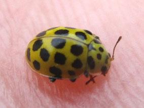 22-Spot ladybird Psyllobora vigintiduopunctata (or 22-punctata)